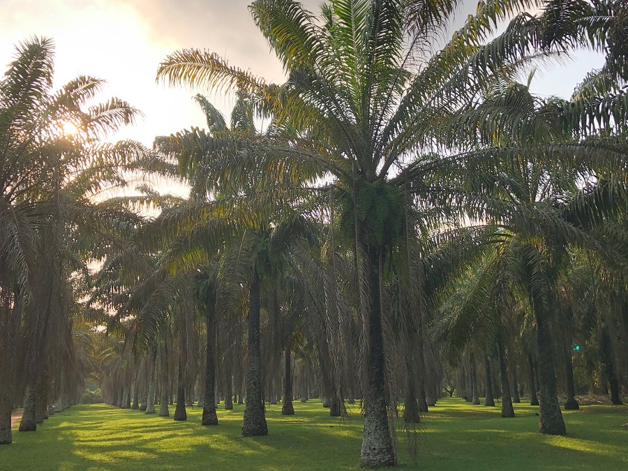 Jardin botanique Bingerville - Palmeraie